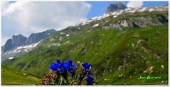 Swiss landscape - 2 (Ioan BACIVAROV Photography+3.500.000visits-Thanks) Tags: flowers summer mountain mountains flower nature fleur beautiful fleurs alpes wonderful landscape switzerland interesting flora nikon dynamic artistic swiss natura colourful ete vara flori floare ioanbacivarov