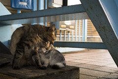 Cat Memories 2014/10/14 (Takashi Toyosaki) Tags: leica cat f14 panasonic stray tokushima summilux dg 25mm  dmcgx7