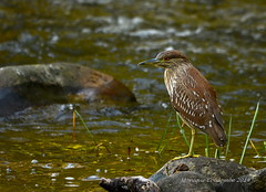 Bihoreau gris juvénile - Black-crowned night Heron immature (Monique Coulombe) Tags: nature wildlife nationalgeographic shorebirds blackcrownednightheron nycticoraxnycticorax wildbirds bihoreaugris oiseauxmigrateurs oiseauxduquébec naturesauvage oiseauxsauvages birdinginthewild birdsofquebec quebecwildlife oiseauderivage moniquecoulombe