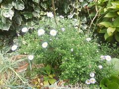 DSCN9592 (en-ri) Tags: verde foglie nikon fiori pianta fiorellini settembrina