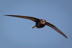 DSC_5922 (P2 New) Tags: france bretagne mai date animaux pays oiseaux 2014 martinetnoir etangdebazouge