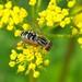 A Flower Fly (Anasimyia interpuncta)