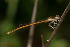 Orange Featherleg - Platycnemis acutipennis, (Selys, 1841) ( BlezSP) Tags: spain andalusia damselfly caballito odonata platycnemisacutipennis orangefeatherleg iberianpenunsula