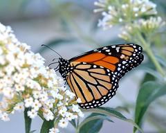 Monarch in evening light (KsCattails) Tags: sunset orange white black flower macro butterfly insect evening soft bokeh monarch kansas butterflybush liight overlandparkarboretum