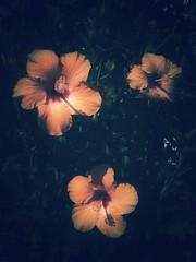 Orange Flowers (Jean5178) Tags: