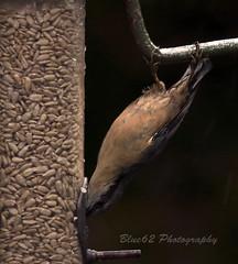 43 Nuthatch (blue62photography) Tags: england birds derbyshire hide calke derbs ticknall