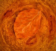 Together Again .... 33/52 (mickspics II) Tags: wood autumn colour leaf colours woodgrain woodknot warmcolour