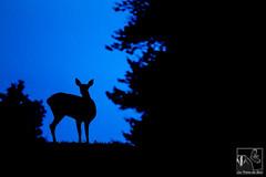Seules dsormais... (Les Frres des Bois) Tags: shadow deer bleu soire nuit reddeer champ ombrechinoise biche cervus cervuselaphus cervids cerflaphe