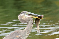 Great Blue Heron with Fish (jaho326) Tags: heron greatblueheron rainbowtrout greathollowlake monroect oct2014