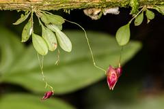 Lepanthes chelonion Luer & R. Escobar (PenduSeb - 2670m) Tags: plantas santander orquideas lepanthes labelleza