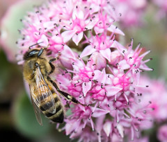 2014_060 (casirfm) Tags: flowers macro canon bee ape fiore ottobre 2014 casirfm canoneos1100d