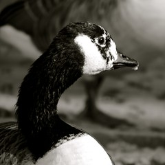 Canada Goose (dawnmagee) Tags: bird nature wildlife lakedistrict feather goose keswick