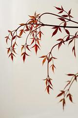 Nandina domestica / heavenly bamboo (Wendy:) Tags: red leaves 100mm nandinadomestica heavenlybamboo