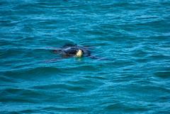 Galapagos Green Turtle (Prairie_Wolf) Tags: nature ecuador wildlife greenseaturtle travelphotography galapagosislands galapagosseaturtle cheloniaagassizii rachelmackayphotography