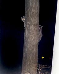 midnight skulkers (beanieindy) Tags: tree nature night raccoons wildanimals