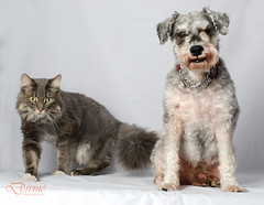 Mickie and Mylo (Amelia Chen Images) Tags: dog pet cat schnauzer mylo mickie domesticshorthair