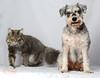 Mickie and Mylo (Amelia Chen Images) Tags: dog pet cat schnauzer mylo mickie domesticshorthair