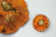 Saffron milk cap (Garaygreen) Tags: stilllife orange mushroom canon eos rebel t3 naranja seta 1100d rebollon canont3 canoneos1100d canon1100d rebelt3