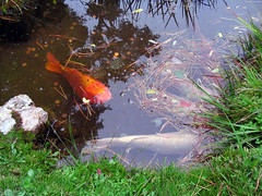 "Koi fish in pond • <a style=""font-size:0.8em;"" href=""http://www.flickr.com/photos/34843984@N07/15522847046/"" target=""_blank"">View on Flickr</a>"