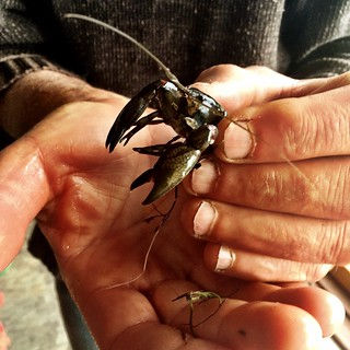 The yabby the kids caught in the creek