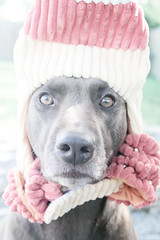 Candy Corn (AlexRuz) Tags: dog halloween retriever doggy chesapeake chessie halloweendog cosutme lovemydog littledoglaughedportraits ilikebigmutts