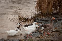 Autunno (akinokami) Tags: birds duck adige oche