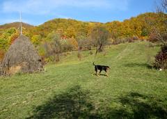 őszi séta Frakkal / autumn walk with my dog (debreczeniemoke) Tags: autumn dog tree colorful walk meadow haystack kutya fa ősz frakk séta rét színes transylvanianhound szénaboglya copoiardelenesc erdélyikopó canonpowershotsx20is transylvanianbloodhound