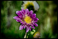The last flowers to enjoy again in the autumn sun.. (scorpion (13)) Tags: morning dahlia autumn plant flower colour garden blossom frame photoart