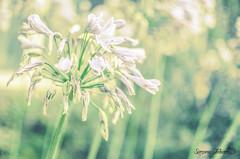 Early Morning Hues (meepeachii) Tags: morning flowers plants sun flower green nature natur pflanzen blumen grün blume sonne morgen motherearth muttererde