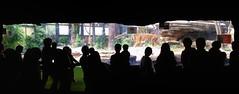 Uncommon Places 175 (Harimau Kayu (AKA Sumatra-Tiger)) Tags: animal japan cat asian zoo tokyo cityscape ueno top tiger yokohama sumatrantiger tijger tigris tigre bigcats sumatran urbanphotography urbanscenery  zoorasia uenozoologicalgardens sumatratiger ikenohata tygr tiikeri  urbanasia pantheratigrissumatrae sumatraansetijger asiancat tigerenclosure tigredesumatra yokohamazoologicalgardens  sumatrantiikeri tygrsumatersk tygryssumatrzaski  szumtraitigris