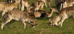Fallow Deer (Twxs) Tags: park deer fallow dyrham