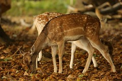 Fallow Deer Does Grazing Fallen Chestnuts in Woodland Shade Richmond Park London England (eriagn) Tags: autumn trees england male green london nature grass animal female woodland photography woodpecker squirrel stag unitedkingdom britain digging wildlife beak royal conservation doe richmond autumnleaves naturalhistory seeds deer antlers textures chestnuts parakeet toadstool spotted fallowdeer nut buck relaxed raven twigs riverthames dappled prickly roedeer grazing reddeer richmondpark chestnuttree protected treetrunks royalpark hinds eriagn ngairelawson ngairehart