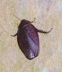 forest cockcroach (CandyTann) Tags: macro roaches