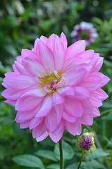 Pink dahlia (Claudia De Facci) Tags: dahlia flowers flower nature fleur fleurs garden jardin natura fiori fiore dalia giardino pinkdahlia daliarosa