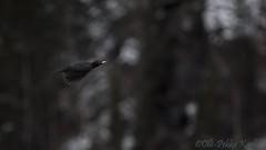 _Black Woodpecker 21.10.2014 Posio (Olli Pekka Karlin) Tags: blackwoodpecker dryocopusmartius palokärki