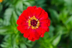 DSC_6922 (sir.yoga) Tags: flowers bratsk easternsiberia