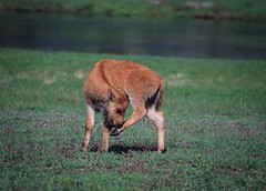 Migrating Baby Bison, Yellowstone (wildphototakermaker) Tags: baby spring buffalo yellowstonenationalpark wyoming bison migrating