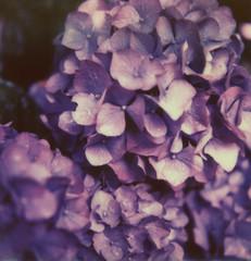 Hydrangeas (Ashley E. Moore) Tags: flower film polaroid sx70 purple hydrangeas instantfilm polaroidweek impossibleproject