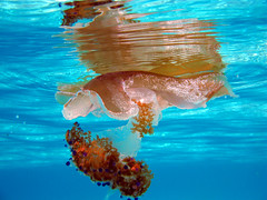 colorful jelly (tamasmatusik) Tags: jelly fish jellyfish underwater malta comino sea tenger medúza meduza medusa málta water blue nature canon