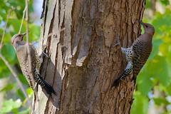 Northern Flickers Couple 2 (charlesbooker) Tags: nature birds flicker em10 woodmanfen
