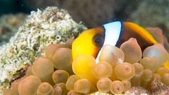 Red Sea anemonefish - Amphiprion bicinctus (Daniel French Underwater Photography) Tags: sea water underwater egypt sharmelsheikh scuba scubadiving underwaterphotography sonydscrx100m2