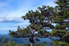Pitch Pine on Hawksbill Mountain 2013-0526-170 (LostPineJim) Tags: northcarolina linvillegorge pitchpine pinusrigida burkecounty hawksbillmountain