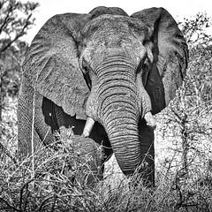 First Warning - African Elephant (philnewton928) Tags: elephant nature animal southafrica nikon wildlife safari animalplanet krugernationalpark kruger africanelephant elephantbull d5100 nikond5100