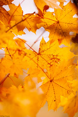 _MG_8824 (Bill Gagne Photography) Tags: november autumn red blackandwhite orange color fall colors monochrome yellow canon bokeh fallcolors autumnleaves autumncolors 135mm thelook 135l hartfordcounty canonef135mmf2lusm ef135mm vsco billsphotos hartfordcountyconnecticut canoneos5dmkll vscopresets billgagnephotography