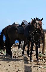 Even the horses in Aruba are happy (goodnessgraci0us) Tags: horse caballo aruba oranjestad kabayo beachhorse beautifulhorse onehappyisland makingfriendsinaruba onehappyhorse