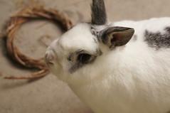 Rory (Tjflex2) Tags: boy pets canada cute rabbit bunny bunnies nature girl vancouver mammal outdoors furry pretty bc friendship fuzzy conejo small adorable rory cuddly coelho playful lapin usagi krolik kanin lagomorph toki leporidae lepus fenek iepure muyal kelinci ilconiglio coinin sungura leporidea