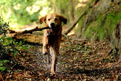 Filou in action (the13throb) Tags: wood dog green wet water leaves creek forest goldenretriever stream shake stick dsseldorf retrieve filou rotthuserbach