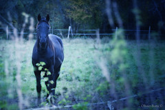 (Olivb77) Tags: horses france nature animals cheval berry force animaux chevaux puissance