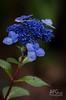 Halloween Hygrangea (APGougePhotography) Tags: flowers flower detail nikon bloom hydrangea topaz denoise topazlabs topazdenoise d5100 topazdetail