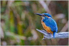 Martin pescatore (Fausto Deseri) Tags: wild nature birds wildlife kingfisher alcedoatthis martinpescatore nikontc17eii nikkorafs300mmf4 oasiditivolimanzolino nikond7100 sitodimanzolino